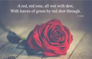 Read more about the article Beautiful Red Rose Quotes and Sayings about Love and Life for Flowers Lover
