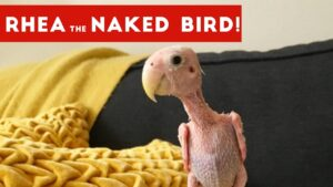 Read more about the article Funniest Rhea The Naked Birdie Weekly Viral Video Compilation   Funny Pet Videos