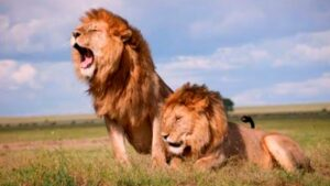 Read more about the article Lion attitude whatsapp status | New lion viral status