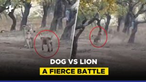 Read more about the article Dog Vs Lion Viral Video: A Fierce Battle